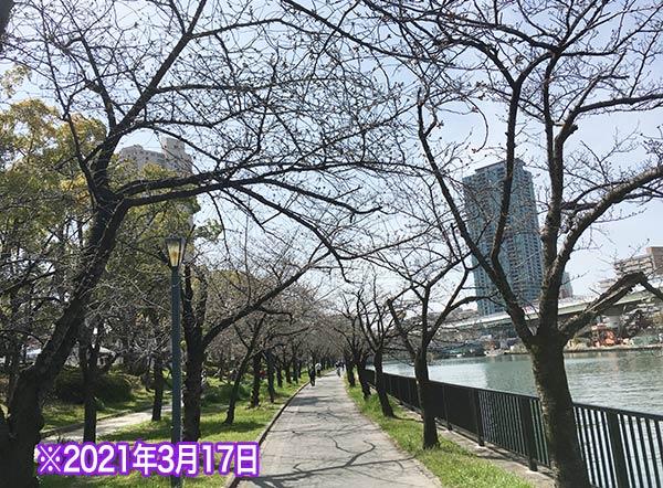 桜ノ宮の桜の開花状況3/17