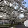 崇禅寺 桜並木の通り抜け