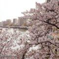 花見の人気スポット 桜ノ宮