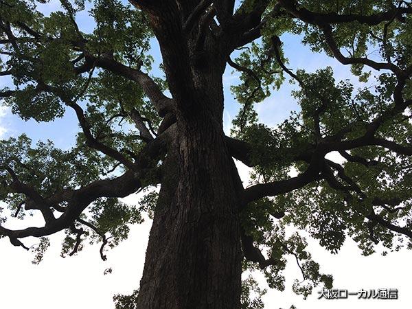 くすのきの大樹