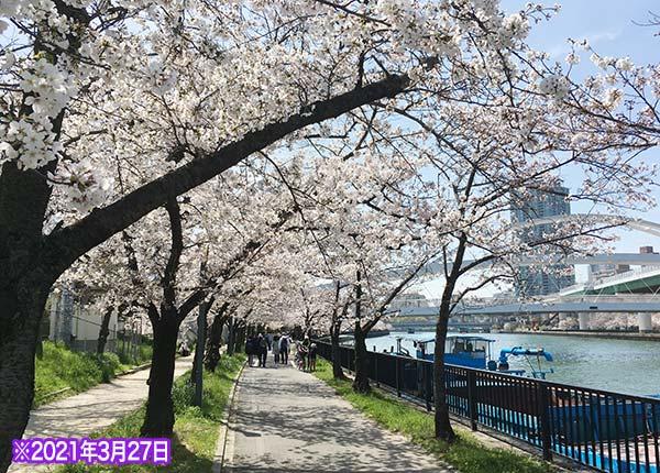 桜ノ宮の桜の開花状況3/27