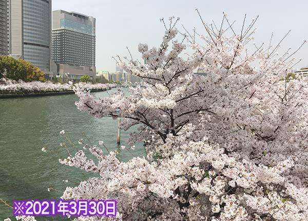 桜ノ宮の桜の開花状況3/30